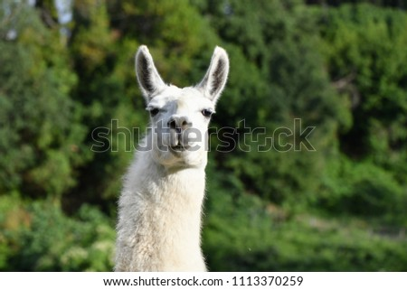 Portrait of a white Llama on green background