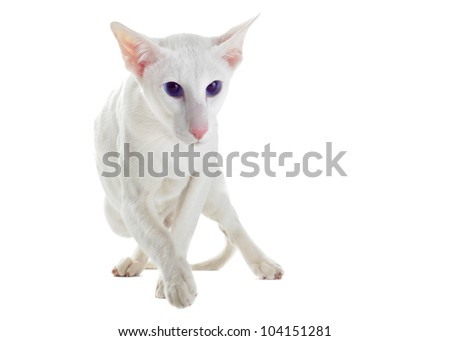 portrait of a white oriental cat in front of white background