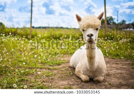 Portrait of a white pretty smiling alpaca sitting in a summer meadow.