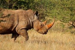 Portrait of a white rhinoceros (Ceratotherium simum) in natural habitat, South Africa