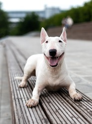 portrait of a white Terrier, which lies on the wooden cover. English bull Terrier a fighting dog