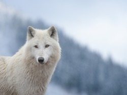 portrait of a white wolf standing on top of a mountain against the background of a snowy forest