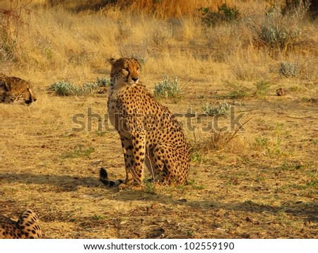 Portrait of a wild african cheetah, Otjitotongwe, Namibia