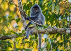 Portrait of a wild cute monkey with a mohawk haircut on his Silvery lutung, also known as the silvered leaf monkey or the silvery langur.