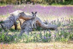 Portrait of a Wild Eastern Grey Kangaroo Mother and Joey, Woodlands, Victoria, Australia, October 2019