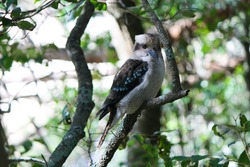 Portrait of a wild laughing kookaburra bird perched on a branch in the forest of the royal national park near Sydney