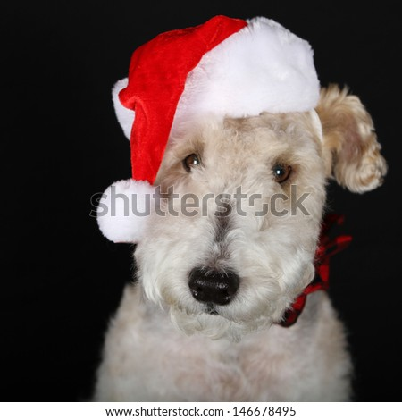 Portrait of a Wire Fox Terrier Dressed for Christmas