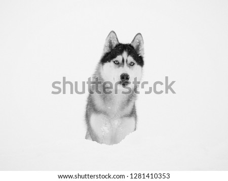Stock Photo Portrait of a wolf on a white snowy background. Black and white photo