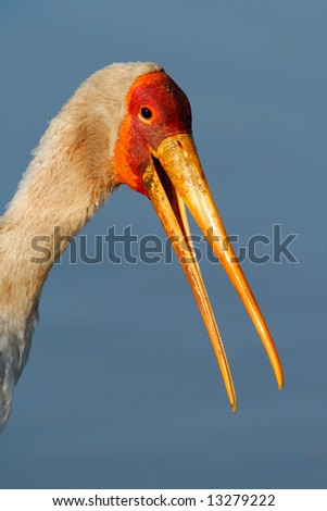 Portrait of a yellow-billed stork (Mycteria ibis), Kruger National Park, South Africa