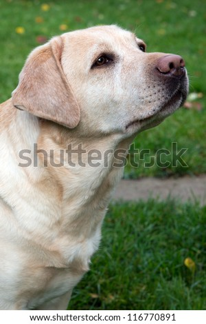Portrait of a yellow labrador retriever five years old