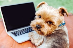Portrait of a Yorkshire Terrier dog in front of a laptop outdoor on a meadow