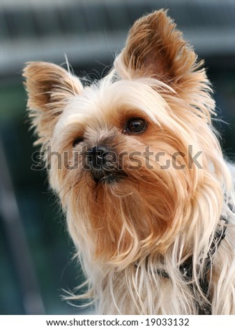 Portrait of a yorkshire terrier in front of a modern office building