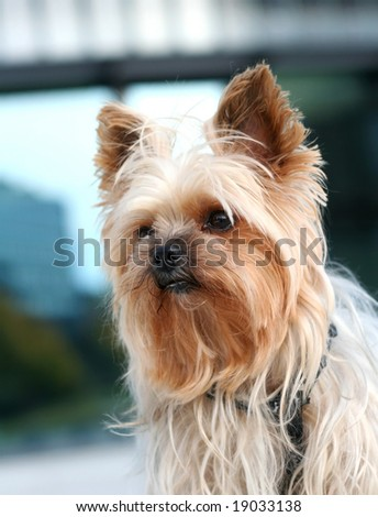 Portrait of a yorkshire terrier on a walk in the city