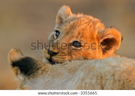 Portrait of a young African lion cub (Panthera leo) with its mother