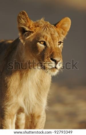 Portrait of a young African lion, (Panthera leo), Kalahari desert, South Africa