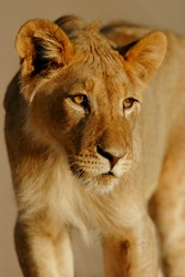Portrait of a young African lion, (Panthera leo), Kalahari, South Africa