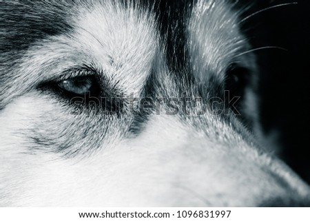 Portrait of a young Alaskan malamute, the color of a wolf #1096831997