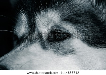 Portrait of a young Alaskan malamute, the color of a wolf #1114855712