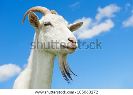 portrait of a young animal goat standing on green summer pasture