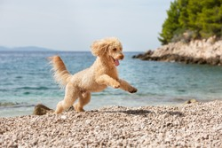Portrait of a young apricot poodle dog on the sunny beach. A happy dog running and jumping joyfully on the beach on a sunny summer day, Bol, Island Brac, Croatia
