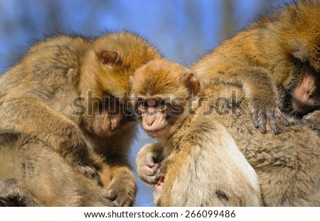 Portrait of a young Barbary macaque sitting between two adult females, Netherlands