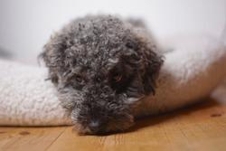 Portrait of a young cute grey dwarf poodle with teddy cut