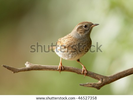 Portrait of a young Dunnock