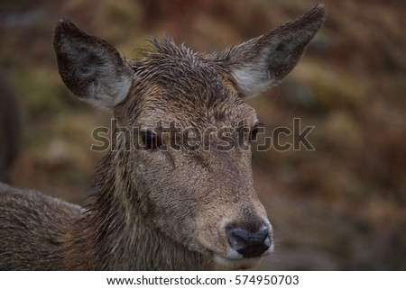 Portrait of a young fawn braving the Scottish rain. #574950703
