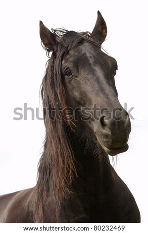 Portrait of a young friesian horse on a white background