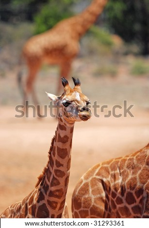 Portrait of a young giraffe