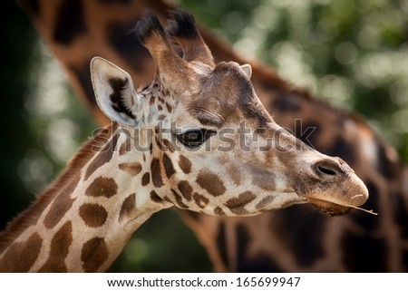 Portrait of a young giraffe on soft nature background #165699947