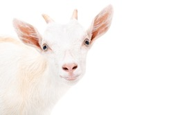 Portrait of a young goat closeup  isolated on a white background