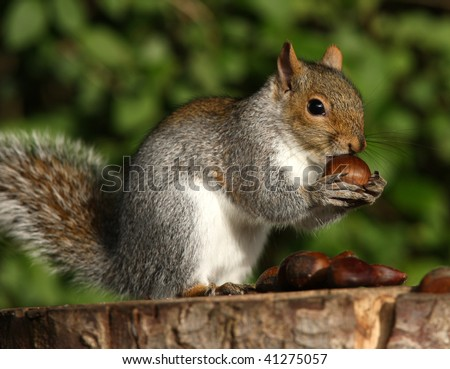 Portrait of a young Grey Squirrel eating a Chestnut