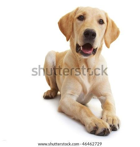 Portrait of a young male Labrador Retriever