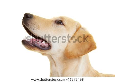 Portrait of a young male Labrador Retriever