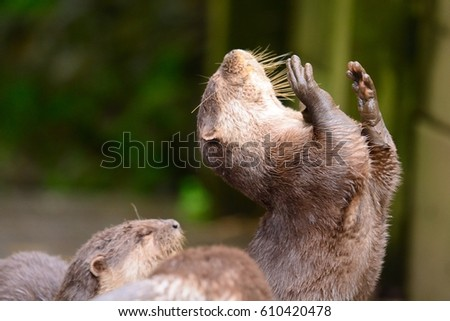 portrait of a young otter with open arms