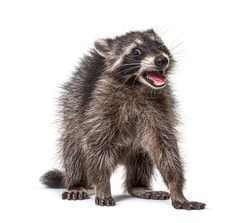 Portrait of a young raccoon mouth open. Weird expression