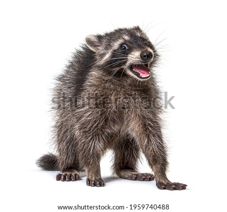 Portrait of a young raccoon mouth open. Weird expression Stock photo ©