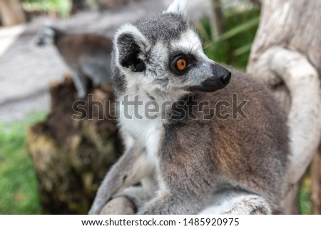 Portrait of a young ring-tailed lemur (Lemur catta)