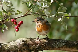 Portrait of a young Robin
