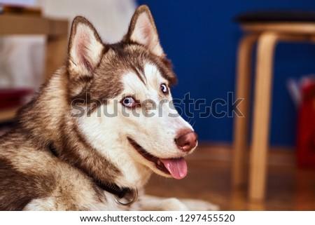 Portrait of a young Siberian husky dog #1297455520