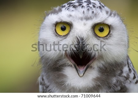 Portrait Of A Young Snow Owl With Open Beak Stock Photo ...