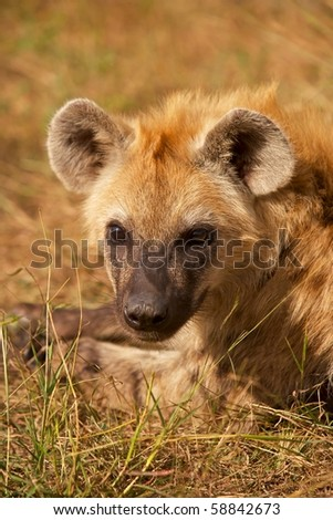 Portrait of a young spotted hyaena (Crocuta crocuta) resting in the Kruger National Park, South Africa.