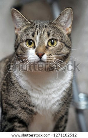 portrait of a young striped european shorthair cat #1271102512