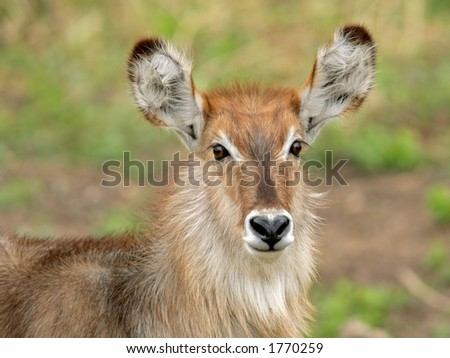 Portrait of a young waterbuck (Kobus ellipsiprymnus), Kruger National Park, South Africa