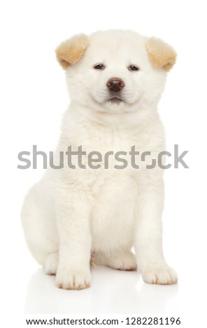 Portrait of a young White Japanese Akita inu puppy. Baby animal theme, front view #1282281196