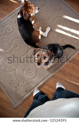 Portrait of a young yorkshire terrier beagle mix dog looking up at his owner.  Shallow depth of field.