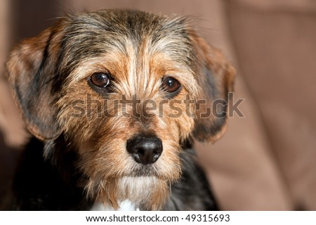 Wirehaired Terrier Mix