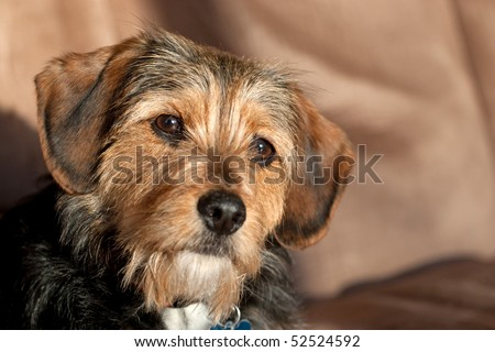 Portrait of a young Yorkshire terrier beagle mix dog. Shallow depth of
