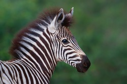 Portrait of a young zebra in the Kruger National Park standing against a green bush